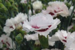 Dianthus 'Cherry Splash'