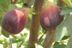 Fig 'Black Genoa'