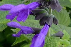 Salvia 'Costa Rica Blue'