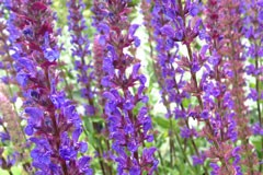 Salvia nemorosa 'Deep Blue'