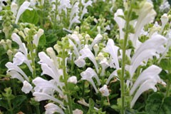 Scutellaria 'Snow White'