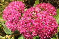 Sedum 'Brilliant'