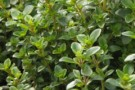 Thyme nummularius 'Pizza thyme'
