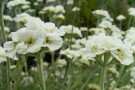 Achillea 'Cotton Tuft'