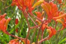 Anigozanthos 'Orange Cross'