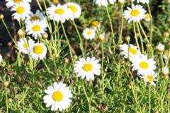Anthemis 'Marguerite'