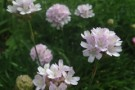 Armeria 'Antique Pink'
