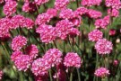 Armeria 'Eleanor'