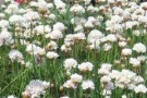 Armeria 'Morning Star'