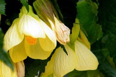 Abutilon 'Lemon Queen'