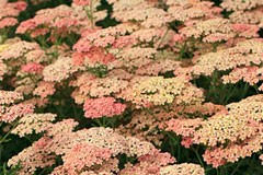 Achillea 'Salmon Beauty'