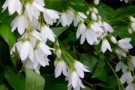 Deutzia gracilis 'Wedding Bells'