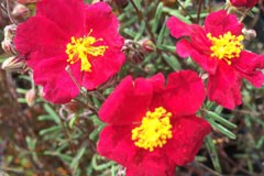 Helianthemum 'Strawberry Red'