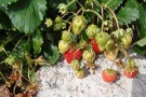 Fragaria 'Red Gauntlet'