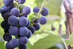 Grape 'Russian Red'