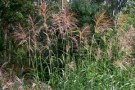 Miscanthus 'Silver Feather'