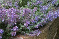Nepeta faasenii 'Catmint'