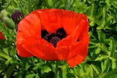 Papaver 'Brilliant'