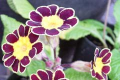 Primula 'Goldlace'