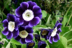 Primula auricula x 'Roxborough'