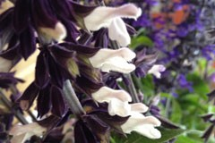 Salvia 'Megans Magic'