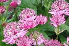 Astrantia major 'Ruby Cloud'
