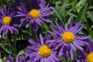 Aster alpinus 'Dark Beauty'