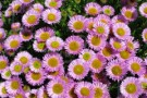 Aster alpinus 'Pink Beauty'