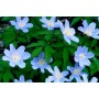 Anemone nemorosa 'Blue Queen'