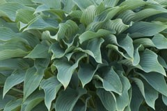 Hosta 'Blue Arrow'