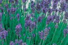 Lavender English 'Munstead'