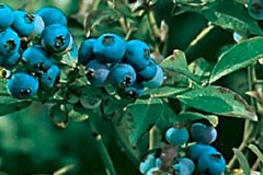 Blueberry 'Denise'