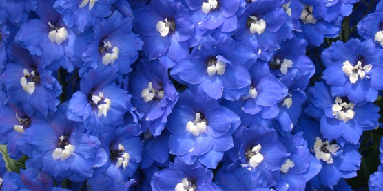 delphinium-royal-aspirations